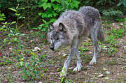 Wolf Photograph Prints - Wolf on the Prowl Print by Louise Heusinkveld