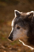 Wolf Photos - Wolf Outlined by the Sun by Karol  Livote