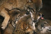 Biting Posters - Wolf pack biting each others muzzles Poster by Intensivelight