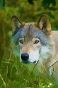 Wolf Photograph Mixed Media - Wolf Portrait by Michael Cummings