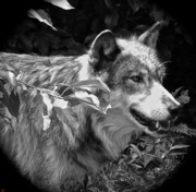Pretty Markings On Wolf Prints - Wolf Run Print by Debra     Vatalaro