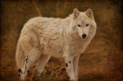 Timber Wolf Framed Prints - Wolf Framed Print by Sandy Keeton