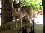 Arkansas Photos - Wolf Sister by Dagmar Ceki