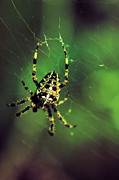 Spiders Prints - Wolf Spider  Print by Jeff  Swan