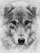 Wolf Eyes Framed Prints - Wolf Stare Framed Print by Wade Aiken