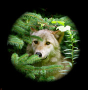 Wolves In Nature Posters - Wolf Thick Of The Woods Poster by Debra     Vatalaro