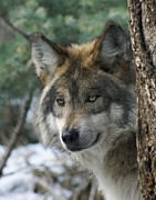 Grey Wolves Framed Prints - Wolf upclose Framed Print by Ernie Echols