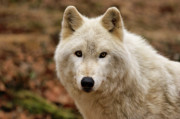 Wolf Portrait Prints - Wolf Watching Print by Sandy Keeton