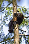 Frontal Prints - Wolverine Gulo Gulo Resting In Tree Print by Konrad Wothe