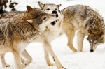 Predatory Prints - Wolves at play Print by Melody and Michael Watson