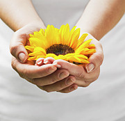 Gardening Photography Posters - Woman Holding A Sunflower Bloom In Cupped Hands. Poster by Chris Stein