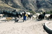 Woman Leading Cattle In Chile Print by Trude Janssen