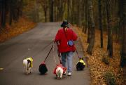 Cute Photographs Posters - Woman Walks Her Army Of Dogs Dressed Poster by Raymond Gehman