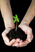 Mature Women Posters - Womans hands holding seedling Poster by Sami Sarkis