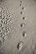 Tasmania Prints - Wombat Footprints On Deserted Beach Print by Peter K Leung