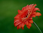 Wonder Of Nature Gerber Daisy Print by Inspired Nature Photography By Shelley Myke