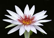 Sabrina L Ryan - Wonderful White Water Lily