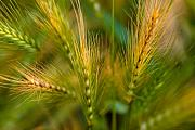Pods Metal Prints - Wonderous Wild Wheat Metal Print by Wenata Babkowski