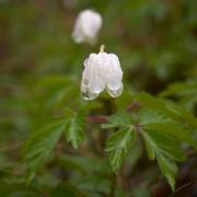 Thimbleweed Prints - Wood Anemone Heavy From The Rain Print by Jouko Lehto