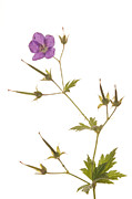 Color Purple Framed Prints - Wood Cranesbill Framed Print by Duncan Shaw