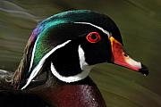 Wood Duck Prints - Wood Duck at Beaver lake Stanley park Vancouver Canada Print by Pierre Leclerc