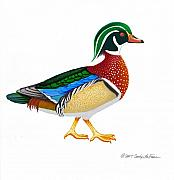 Duck Hunting Drawings - Wood Duck by Carolyn McFann
