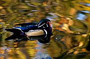 Clayton Photo Framed Prints - Wood Duck Framed Print by Clayton Bruster