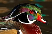 Courtship Framed Prints - Wood Duck Courtship Colors Framed Print by Max Allen