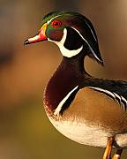 Wood Duck Prints - Wood Duck Drake Looking Into The Distance Print by Max Allen