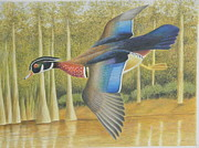 Cypress Tree Drawings - Wood Duck Flying by Alan Suliber