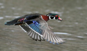 Scared Art - Wood duck in action by Mircea Costina Photography