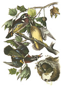 Ducks Paintings - Wood Duck by John James Audubon
