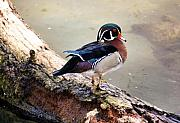 Omaha Nebraska Art Prints - Wood Duck Print by Karen M Scovill