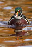 Colourfull Posters - Wood-duck-male on the golden light Poster by Mircea Costina Photography