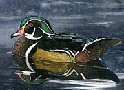 Wood Duck Painting Posters - Wood Duck Poster by Mary Tuomi