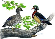 Waterfowl Drawings Framed Prints - Wood Duck pair in Cottonwood Framed Print by Kalen Malueg