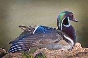 Wood Duck Profile Print by Bonnie Barry