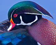 Bruce Colin - Wood Duck Profile