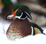 Fowl Photos - Wood Duck by Robert Pearson
