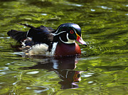 Drake Art - Wood Duck by Sharon  Talson