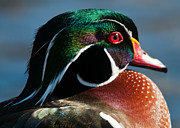 Steve Liptrot - Wood Duck