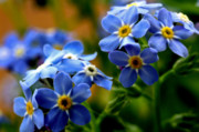 Iridescent Prints - Wood Forget Me Not Blue Bunch Print by Ryan Kelly