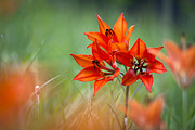 Monocot Posters - Wood Lily Poster by Hal Horwitz and Photo Researchers