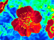 Computer Generated Flower Photos - Wood Poppy Gone Wild by Kim Galluzzo Wozniak