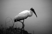 Florida Wildlife Posters - Wood Stork Poster by Andrew Armstrong  -  Orange Room Images