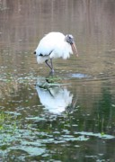 Florida Pond Posters - Wood Stork Beauty Poster by Carol Groenen