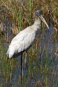 John Van Decker - Wood Stork Everglades...