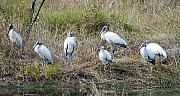 Stork Originals - Wood Stork Flock by Kenneth Albin