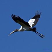 Fort Meyers Framed Prints - Wood Stork in Flight Framed Print by Bill Schaudt