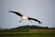 Wood Stork In Flight Print by Paulette  Thomas
